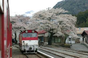 Sakura_hukushu_03