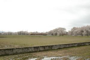 Sakura_hukushu_07