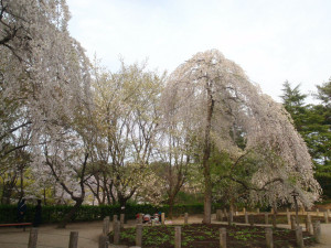 Sakura_hukushu_43