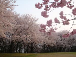 Sakura_hukushu_44